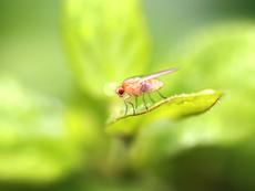 Как да отстраните плодовите мушици от дома?
