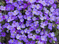 Аубриеция – пищна украса за балкона и градината