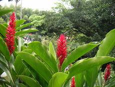 Алпиния - огън и екзотика от Полинезия