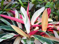 Строманте и великолепието на цветните му листа