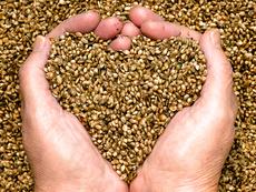 Конопено семе – храна за здраве!