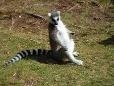 Знаете ли, че... лемурите са свещени в Мадагаскар?