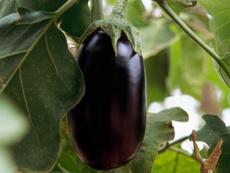 Патладжанът – зеленчукът на лятото