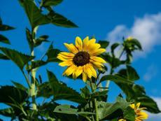 Масло от слънчогледово семе – за какво е полезно