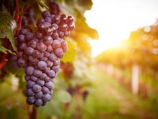 Невероятните ползи от гроздето (галерия)