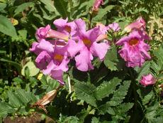 Инкарвилея - красиво цвете за дома и градината