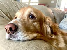 Мълчаливи признаци, че кучето ви страда от депресия