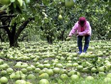 Помело – китайският меден грейпфрут