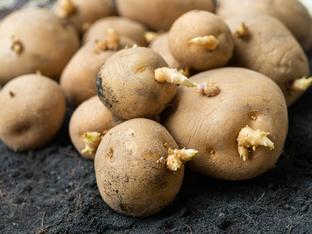 Опасно ли е да ядем покълнали картофи?