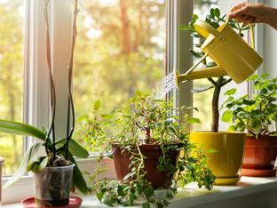 Кое е най-доброто време за поливане на растенията вкъщи?
