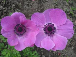 Анемония – нежната принцеса сред цветята
