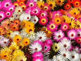 Доротеантус или обедно цвете