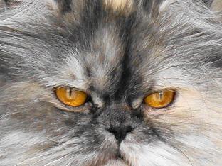 Кои симптоми издават алергията към котки