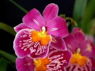 Милтония – лесна за отглеждане орхидея