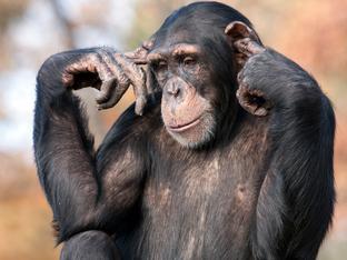 Знаете ли, че... шимпанзетата пръцкат много силно?