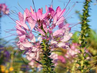 Клеоме – цветето паяк