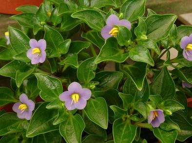 Екзакум – бухнал храст с лилави цветове