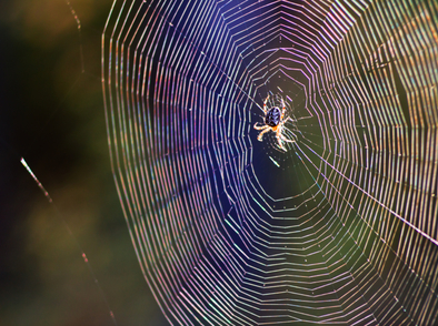 Знаете ли, че...повечето паяци имат прозрачна кръв?