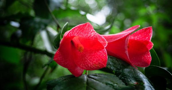 Розовата лапагерия е прекрасно, изумително красиво и с интересни цветове