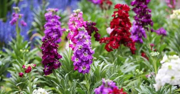 Шибой е едно от най-красивите и ароматни градински растения с
