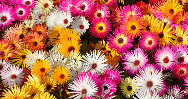 Доротеантусът е прекрасно едногодишно тревисто растение, което има много красиви