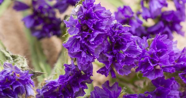 Гърлица, наричана още лимониум, е многогодишно тревисто растение с кичести