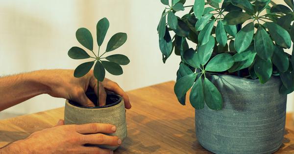 Шефлера е невероятно красиво зелено растение от семейството на бръшляна.