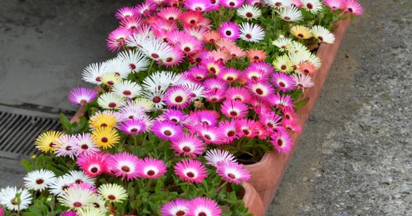 Месембриантемум е тревисто растение с невероятни цветове, подобни на маргаритки.