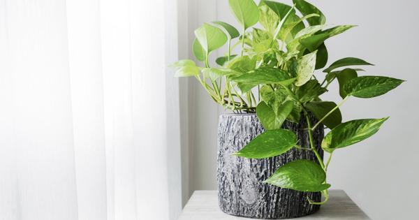 Освен че са прекрасно решение за декорация у дома, растенията