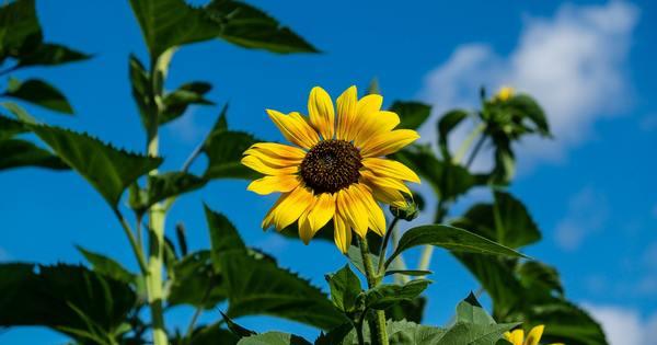 Чували ли сте за масло от семена на слънчоглед? Обикновено