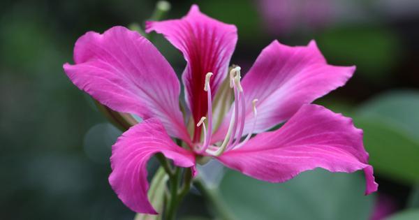 Снимка: Баухиния – дърво със съвършени цветове