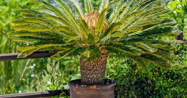 Цикас прилича на палма, но всъщност няма нищо общо с