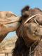 10 любопитни факта за камилите