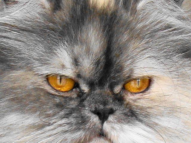 Пухкава персийска котка Снимка: Sxc.hu