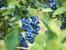 5 билки при разширени вени