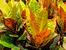 Кротон – ярка окраска и настроение вкъщи