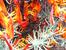 Бертелотов звездан – екзотика от Канарските острови