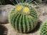 Ехинокактус – симпатичен кръгъл кактус