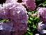 Хортензия – пищност и преливащ цвят