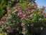Олеандър – сладък аромат за градината