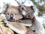 Знаете ли, че... коалата има раздвоен пенис?