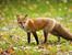Притча за хитрата лисица
