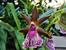 Зигопеталум – една вълшебна орхидея