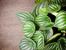 Пеперомия – винаги интересна със зелената си окраска