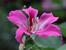 Баухиния – дърво със съвършени цветове