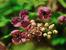 Акебия – шоколадовата лоза