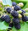 10 нисковъглехидратни плода, подходящи за кето (галерия)