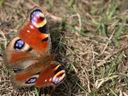 Красотата на пеперудите