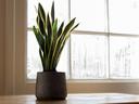 Кои растения подобряват енергията в дома?